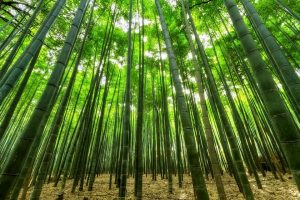 Tall bamboos